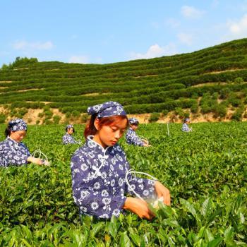 Hanzhong women picking tea leaves