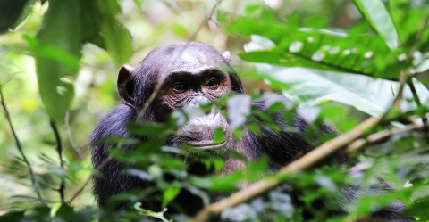 Chimpanzee in the wild, behind branches