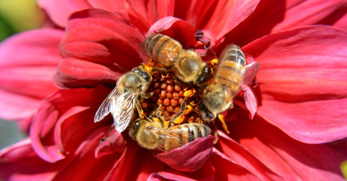 Bees Pollinate a Red Flower © Jeff Zehnder/ Shutterstock.com